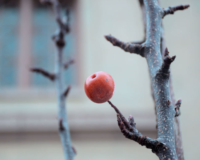 Fruit Focus On Foreground No People Close-up Freshness Day Branch Plant Tree Nature Growth Selective Focus Outdoors Red Twig Ripe