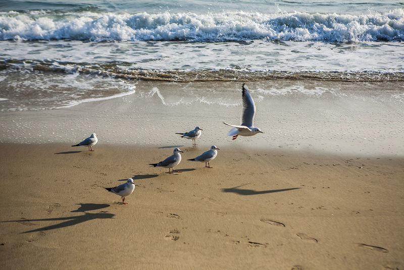 Haeundae Pusan Sea Gull Bird Fly Beach Sea Side Korea Relax Free