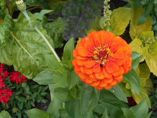 Beauty In Nature Blooming Close-up Day Flower Flower Head Fragility Freshness Green Color Growth Leaf Nature No People Orange Color Outdoors Petal Plant Springtime Zinnia