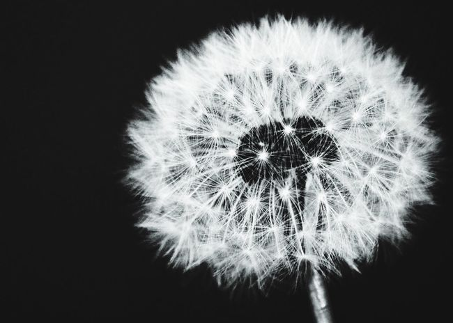 A flower Flower Beauty In Nature Softness Fragility Outdoors Dandelion Seed