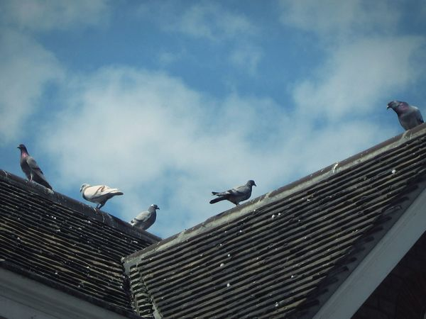 ◽🍥 freebird🍥◽ Hello World Birds_collection Birds Of EyeEm  Bird_lovers Sky And Clouds Minimalist Urban_collection Urban Landscape Pigeons On The Roof Pigeons Showcase May The Moment - 2016 Eyeem Awards Nature's Diversities