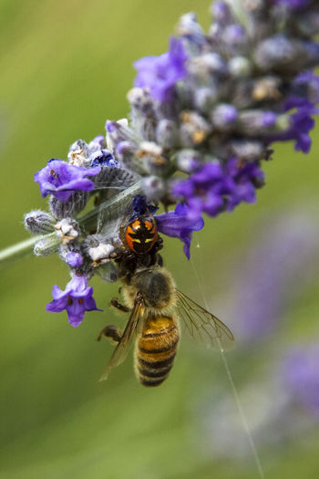Today I got lunch Animal Themes Animals In The Wild Beauty In Nature Bee Close-up Day Flower Flower Head Fragility Freshness Growth Insect Nature No People Outdoors Pollination Predator And Prey Purple Spider