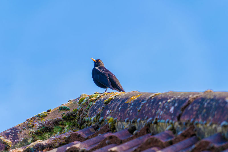 Low angle view of bird perching on roof against clear blue sky