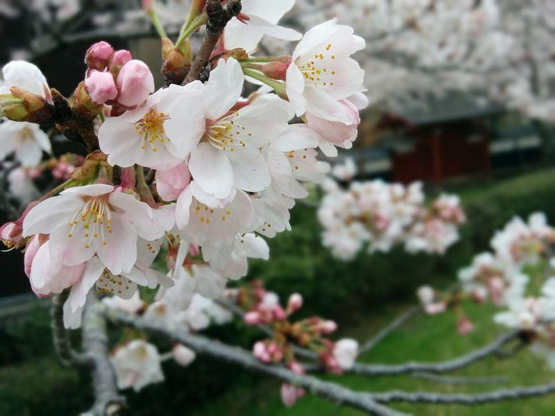 桜 Nexus5