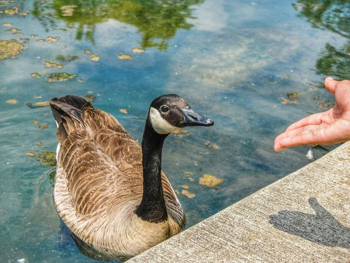 Cropped image of hand feeding canada goose in lake