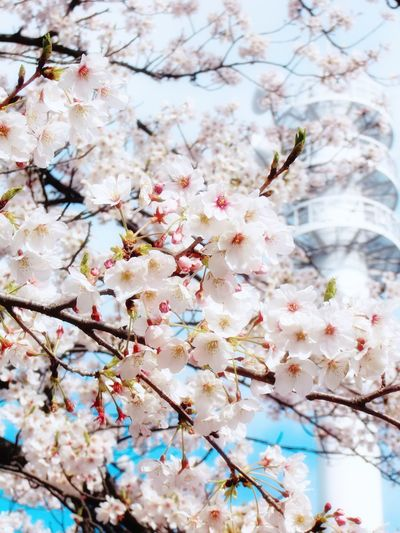 Cherry Blossoms Beauty In Nature Flower Cherryblossom 愛知 日本 Aichi Japan 桜 Sky