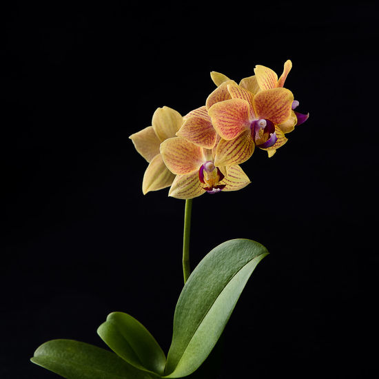 Orchid Beauty In Nature Black Background Blooming Close-up Flower Flower Head In Bloom Nature Orchid Petal Plant Studio Shot Fine Art Photography