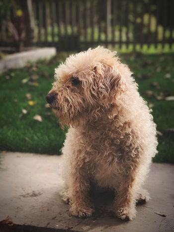 Fozzie the Bear Pets Dog One Animal Domestic Animals Mammal Focus On Foreground Outdoors Poodle Labradoodle Puppy Outdoor Photography