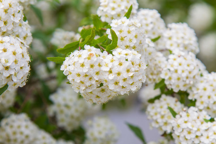Close-Up Of White Flowering Plants In Park