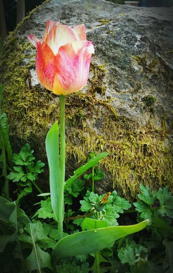 Spring Into Spring Tulips Mossporn Hrd Hanging Out Taking Photos Flowers Nature_collection