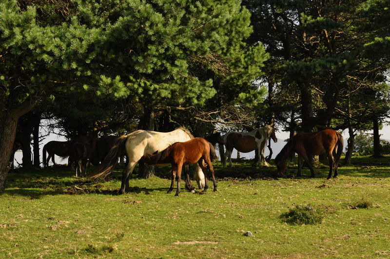 Horses grazing on field by trees