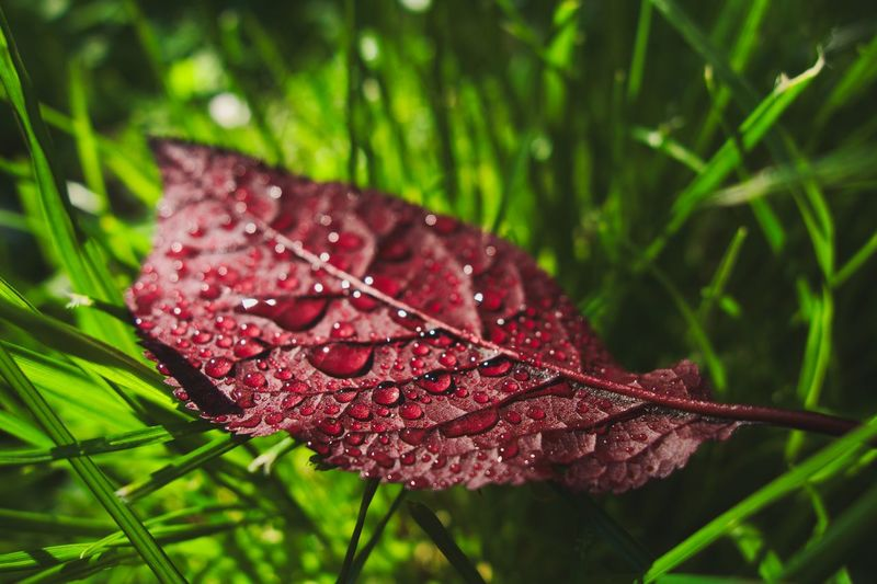 Plant Growth Plant Part Close-up Leaf Water Drop Beauty In Nature Outdoors Vulnerability  Focus On Foreground Fragility No People Green Color RainDrop Nature Rain Wet Red Day