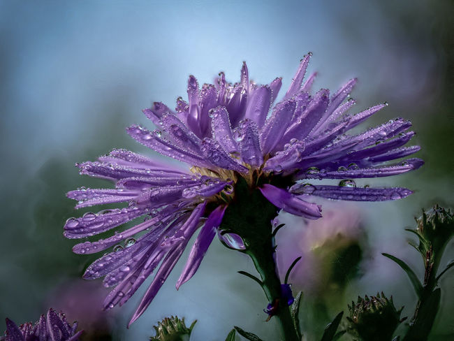 Aster EyeEmNewHere Raindrops Aster Beauty In Nature Blooming Bokeh Close-up Day Flower Flower Head Fragility Freshness Growth Nature Nature Is Art No People Outdoors Petal Plant Purple Ultraviolet Violet Color Violet Flowers Water Wet Plants