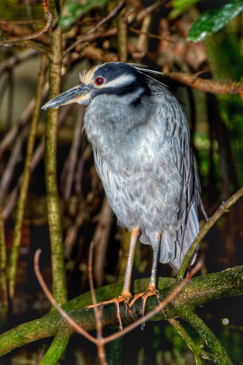 Close-Up Of Black Crowned Night Heron Perching On Branch