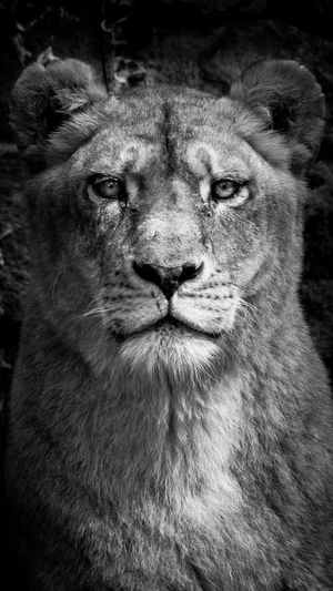 Animal Head  Animal Themes Animals In The Wild Close-up Day Lion Lion - Feline Mammal No People One Animal Outdoors Portrait