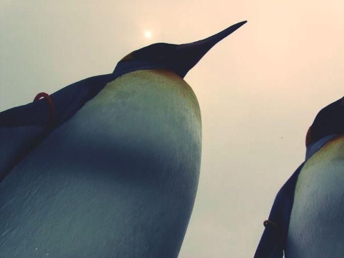 Penguins Penguin Closeup Animals Posse