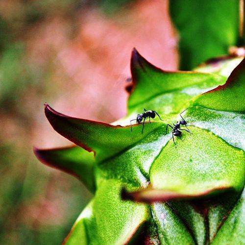 火龍果 螞蟻 水果 攝影 Ant Fruit Photo Photograph Photoshoot Nikon D90 Nikonphotography Taiwan Linying