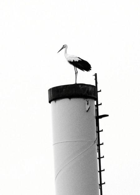Bird Animal Wildlife Animals In The Wild Stork Animal Themes Perching No People Day One Animal Outdoors White Stork Nature Störche Storchennest Storch Nature EyeEm Best Shots Beauty In Nature EyeEm Gallery EyeEmBestPics Freshness