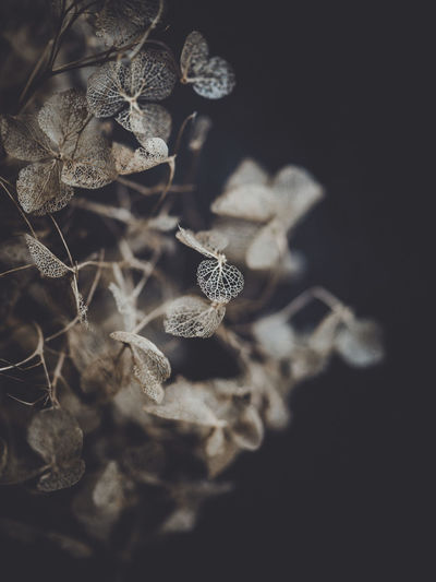 Dark and moody macro dead hydrangea skeleton Close-up Plant Fragility No People Selective Focus Vulnerability  Dry Studio Shot Leaf Plant Part Nature Beauty In Nature Flower Black Background Flowering Plant Indoors  Growth Pattern Freshness Dried Plant Wilted Plant Dead Plant Leaves Flower Head Dried