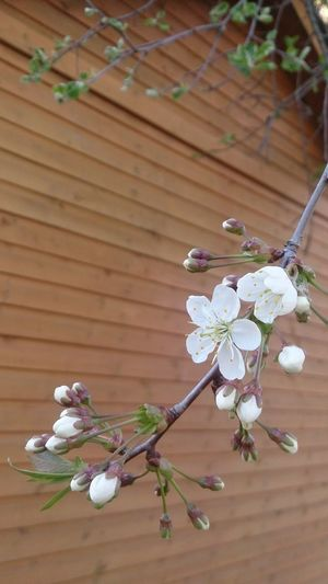 No Filter Nature Beauty In Nature Beauty No People Flower Tree Branch Flower Head Springtime Wood - Material Close-up Plant Apple Blossom Fruit Tree Botany Blossom In Bloom Plant Life Apple Tree