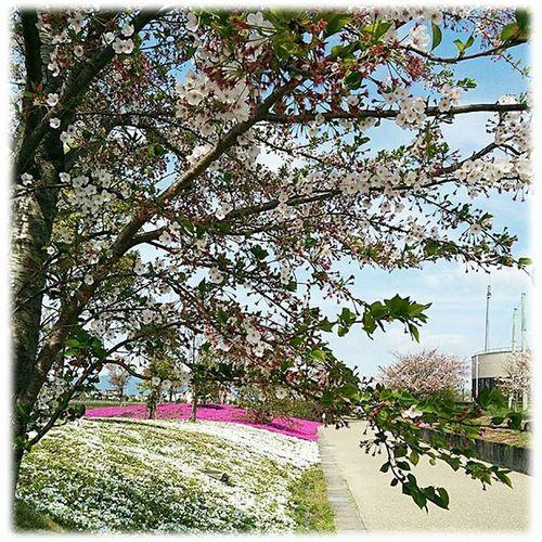 🌸プロフィールのブログもどおぞ😆👍➰ 桜と芝桜🎶☺ Cherry trees and moss phlox🎶☺ ※ 風景 Landscape 自然 Nature 弥富 Yatomi 日本 Japan Aichi 眺め 眺望 View 展望 Outlook Vista 景色 Scenery 綺麗 Beautiful 爽やか Refreshing 😚 View_Japan_nagoya_mitu