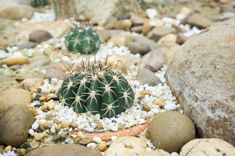 Solid Rock Cactus Rock - Object Succulent Plant Stone - Object Nature Day No People Animals In The Wild Close-up One Animal Focus On Foreground Stone Outdoors Marine Park Garden Sand
