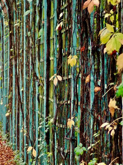 """Nearby """"the end of the world..."""" Autumn Colors Autumn Leaves Beauty In Nature Close-up Day Espalier Freshness Growth Historical Sights Nature No People Outdoors Plant Romantic Tree Tree Trunk Wine Leaves Yellow Leaves"""