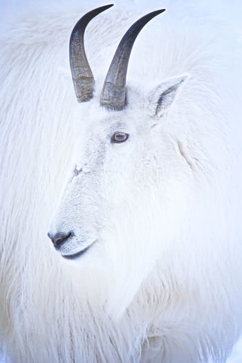 Rocky Mountain Goat Rocky Mountain Goat Horns Mountain Goat Wildlife & Nature Animal Head  Animal Themes Animal Wildlife Animals In The Wild Beauty In Nature Close-up Cold Temperature Day Mammal Nature No People One Animal Outdoors Reindeer Snow Stag White Color Wildlife Winter Yukon Territory