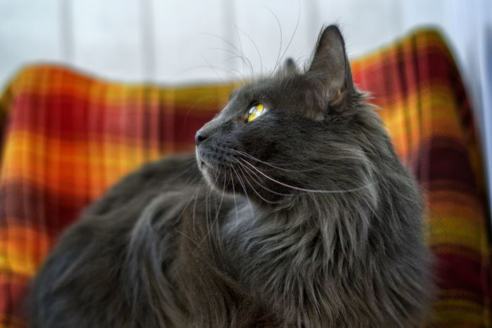 Mainecoon Domestic Cat Pets One Animal Animal Themes Feline Domestic Animals Mammal Day Persian Cat  Indoors  Sitting Close-up Whisker No People Home Interior