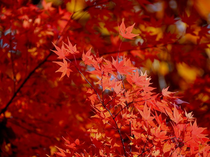 Autumn Colors Red Autumn Beauty In Nature Change Leaf Leaves Maple Leaf Maple Tree Nature