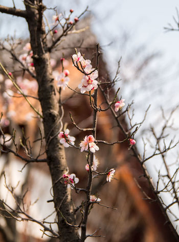 Blossom Branch Flower Focus On Foreground Season  Selective Focus Sprig 매화 벚꽃 봄 봄꽃