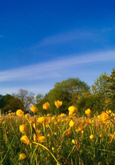 Close-up of yellow flowering plants on field against blue sky