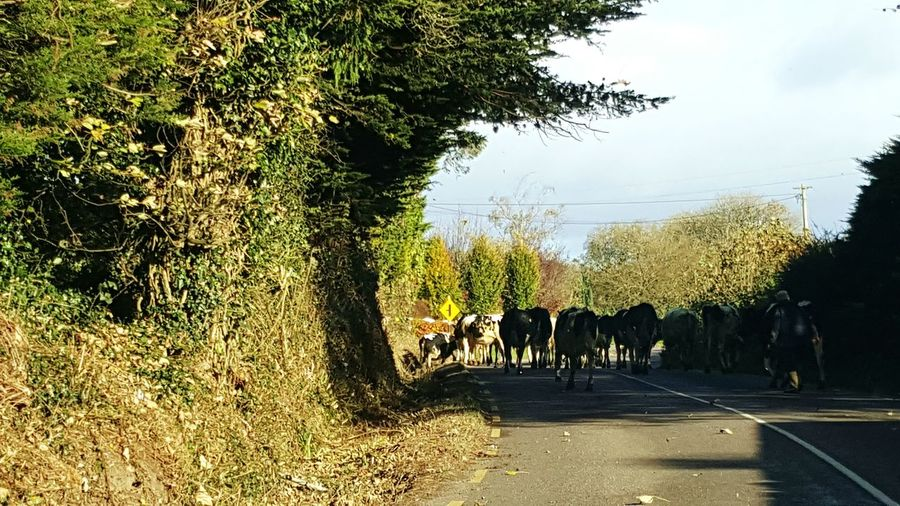 Rush Hour Traffic Holy Cow Outdoors Tree Nature Animals Collection Day Sky Animal Themes Cattle Farm Life Farm Animals