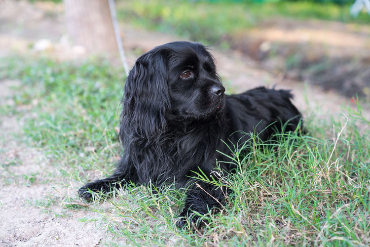 A black hound lay in the grass A Cure To A Broken Heart ❤ Aggression  Animals In The Wild Approachable Blackandwhite Black Dog Clever Company Dangerous Dog Family Friendly Gun Dog Hair Housekeeping Hunting Long Hair Outdoors Pets Porter Protection Quiet Safety Skillful Strength One Animal Mammal Domestic Canine Domestic Animals Animal Themes Animal Black Color Vertebrate Field Nature Land Sitting Plant Grass Focus On Foreground Cocker Spaniel  Relaxation No People