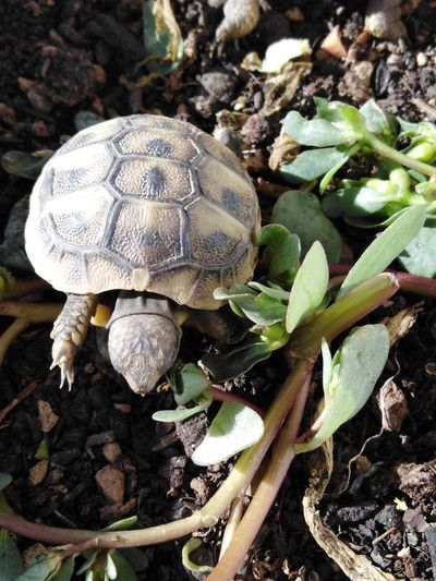 Baby tortoise exploring the world Turtle The Purist (no Edit, No Filter) No Edit/no Filter Animal Photography Animal Life Exploring Sunlight Environment Cute Pets Tortoise Baby Tortoise Animal Themes Animal Animal Shell Crawling Plant Tortoise Shell Close-up Ground Growing Shell Soil Leaves