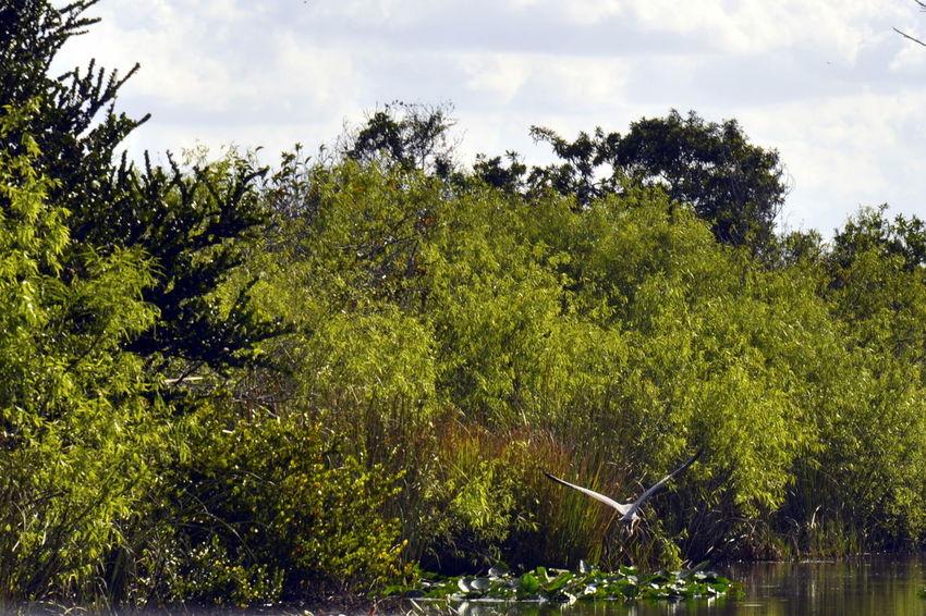 Beauty In Nature Bird Birdflight Everglades  Miami Nature Outdoors Water