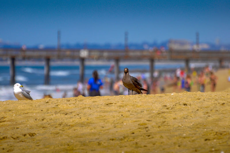 Imperial Beach, Pier, Coronado Island and Downtown San Diego Animal Animal Themes Animal Wildlife Animals In The Wild Architecture Bird Built Structure Focus On Foreground Group Of Animals Imperial Beach Incidental People Nature Outdoors Perching Sea Seagull Selective Focus Sky Vertebrate Water