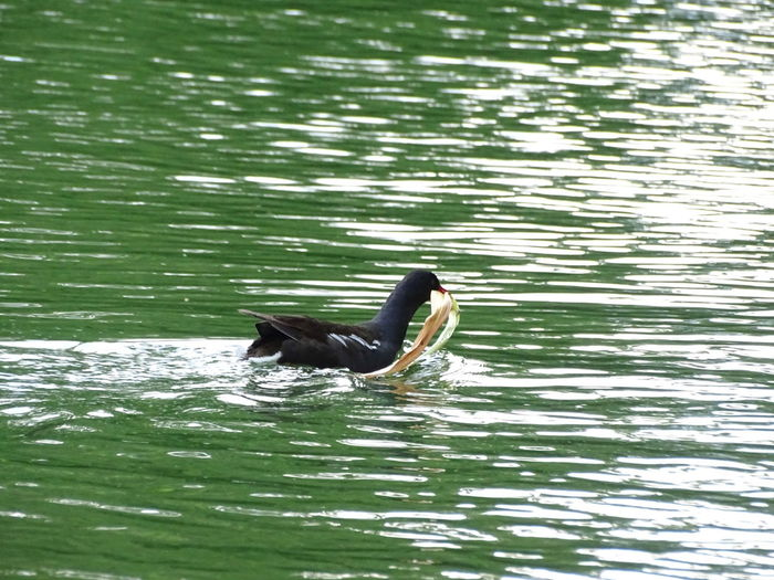 Duck carrying something Duck FUNNY ANIMALS Funny Moments Animals On Water Duckling Ducks Black Duck Black Duck Swimming Ducks In Water Fine Art Photography