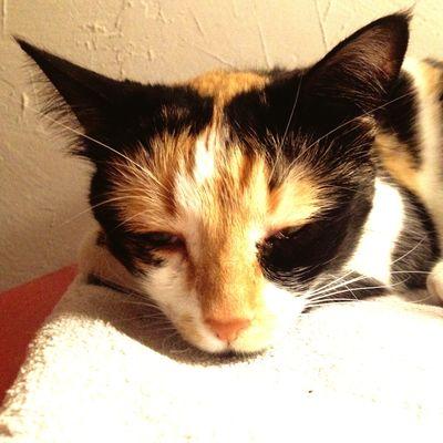 Chat Domestic Cat Pets Cat