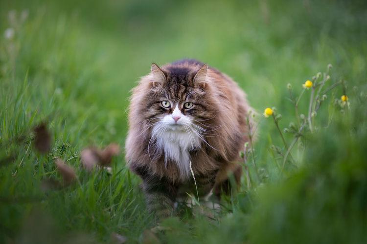 Beautiful fluffy cat walking among the grass