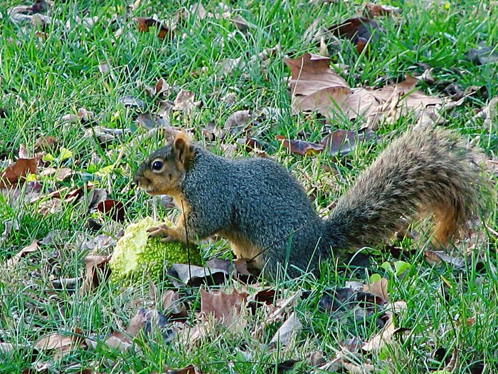 Fox squirrel with a crabapple.