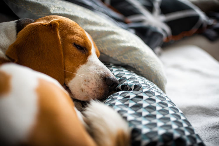 Close-up of dog lying on bed at home