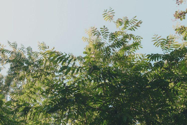 Essigbaum Tree