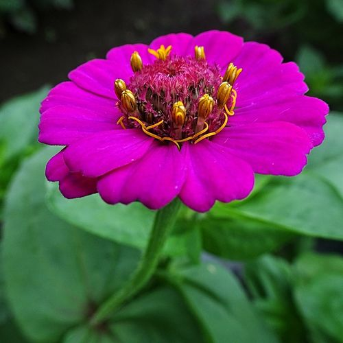 As if dance party… Astor Sensual Flower Passion Color Red Flower Flower Head Flower Zinnia  Petal Botanical Garden Leaf Uncultivated Purple Pollen Stamen