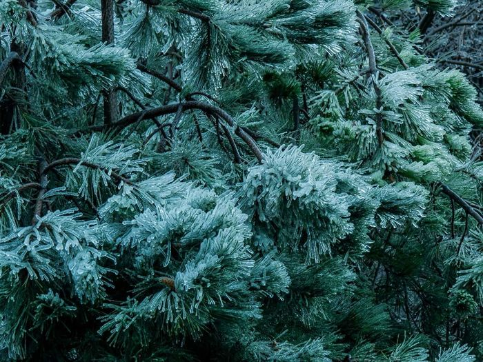 Frozen Coniferous Trees