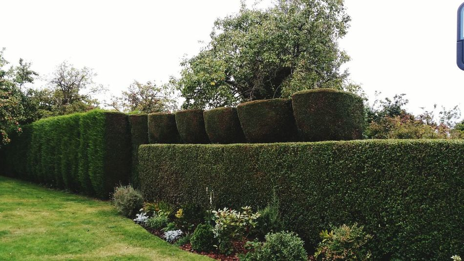 My hedge with teeth!!