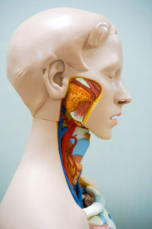 Head of human anatomy model Science Vein Anatomical Anatomy Biology Circulatory Sistem Close-up Education Health Human Human Body Part Human Representation Inside Internal Medical Model Muscle Nerves Organ People System Transplant