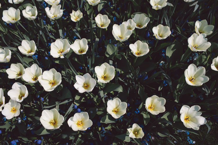 Tulip Tulips Flowering Plant Flower Plant Vulnerability  Fragility Freshness Beauty In Nature Petal Close-up White Color Inflorescence Flower Head Full Frame No People Growth Nature Backgrounds High Angle View Field Botany Outdoors Springtime Pollen Flowerbed