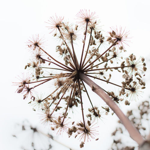 Seed on snow Flower Flowering Plant Plant Fragility Freshness Vulnerability  Beauty In Nature No People Close-up Nature Growth Day Inflorescence Flower Head Outdoors White Background Focus On Foreground Low Angle View Sky Plant Stem Dandelion Seed Seeds