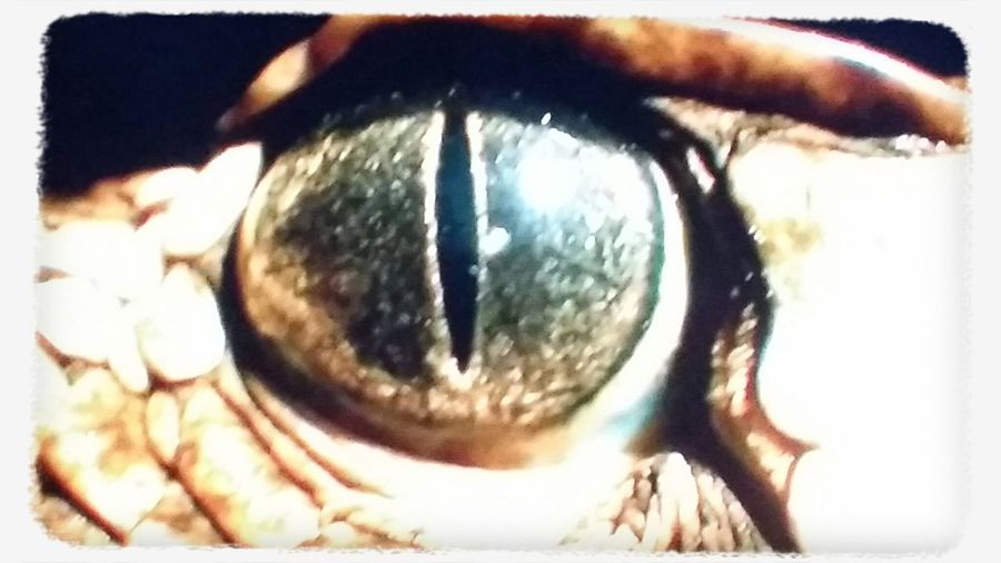 Hello World Check This Out A Russel's Viper Eye..4 EyEmers Snakes... Lovers. .... PLACE LOVE RESPECT!